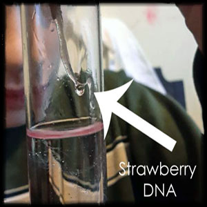Strawberry DNA from Science Expeditions Kit